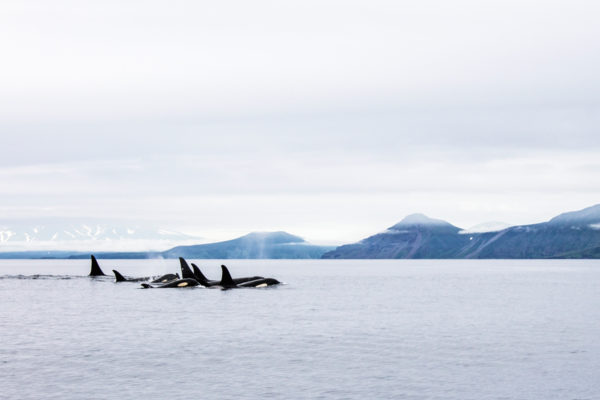 Dangerous encounters: in search of killer whales