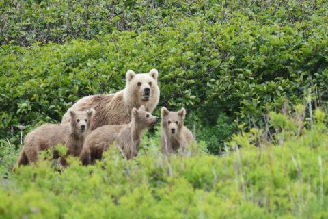 Медвежья семья на заброшенном аэродроме. Часть 4