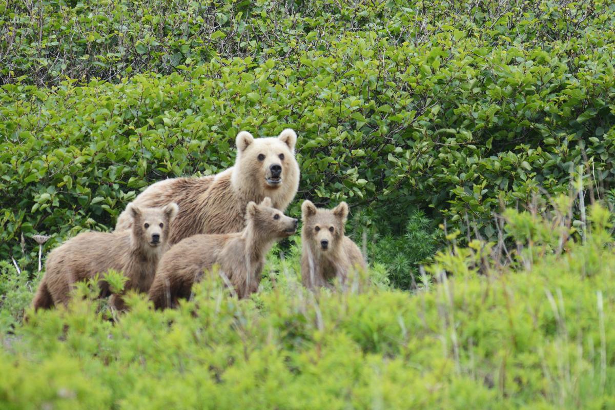 A bear family on an abandoned aerodrome. Part 4