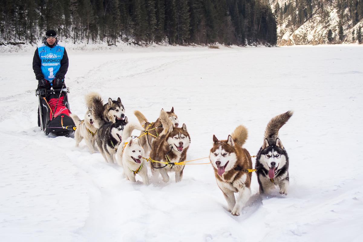 "SIBERIAN QUEST"": sled dog race | отдых на Алтае, Байкале ..."