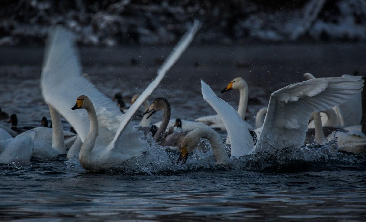 лебединое озеро савченко (Копировать)